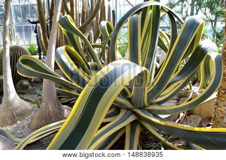 This agave American of the Nikita Botanical Gardens in Yalta Russia