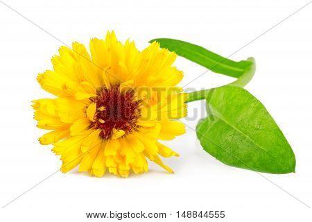 Calendula flower or common marigold flower Calendula officinalis isolated on white