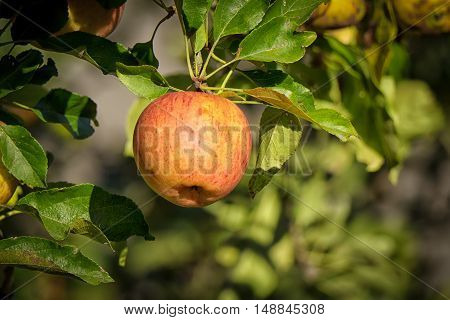 a beautiful red apple on a tree