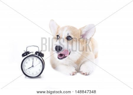 hungry corgi dog isolated on white background