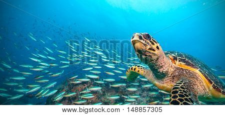 Hawksbill Sea Turtle flowing in Indian ocean, flock of fish on background