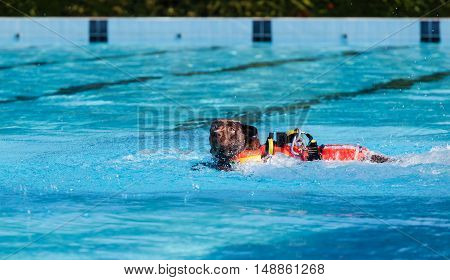 Lifeguard Dog In Swimming Pool.
