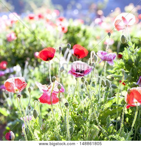 Soft Focus Vivid Poppy On The Field As Symbol For Remembrance Day. Bright Flower With Soft Focus Of