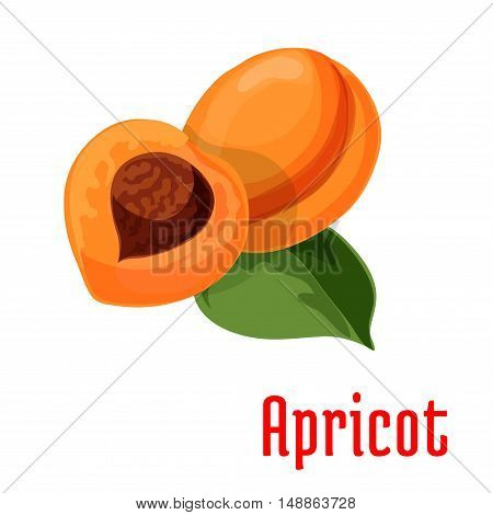 Apricot. Fresh juicy fruit isolated on stem with leaves. Botanical style product emblem for juice sticker design element, jam label, packaging tag, grocery shop, farm store decoration