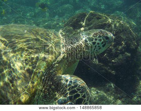 Loggerhead sea turtle swimming underwater by a rock.