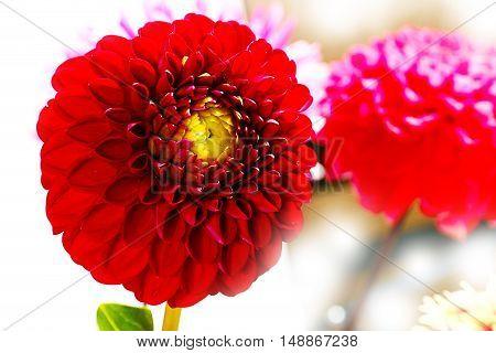 dahlia garden image as an element festive floral arrangements