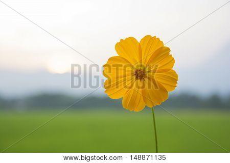 Yellow Cosmos flower against sun set light