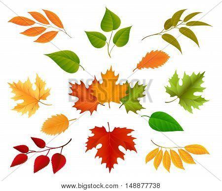 Autumn leaves or golden foliage vector isolated on white background
