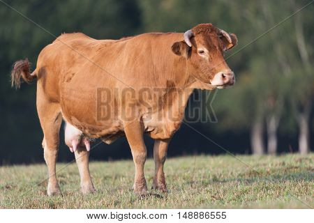 Limousine cow in fields in France