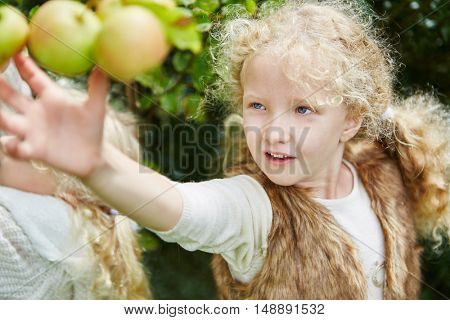 Blond girl picking up apples in autumn during harvest time
