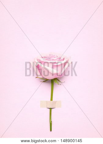 Creative Valentines Day still life concept pink rose in greeting card on pink paper background.
