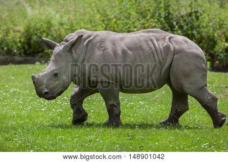 Southern white rhinoceros (Ceratotherium simum simum). Little rhino. Wildlife animal.