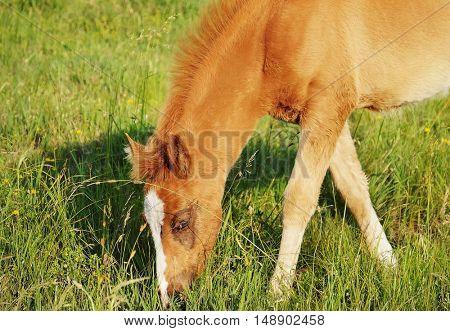 Little foal grazing in field