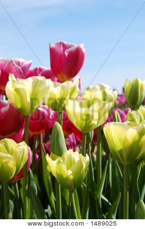 Purple And Green Tulips