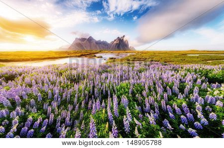 Great view of lupine flowers glowing by sunlight. Majestic and gorgeous scene. Location famous place Stokksnes cape, Vestrahorn (Batman Mountain), Iceland, Europe. Artistic picture. Beauty world.