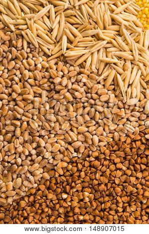 Collection Set of Cereal Grains: Wheat Barley Oat Corn Millet Rice Buckwheat closeup