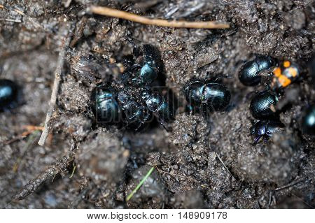 Several earth boring dung beetles Anoplotrupes stercorosus