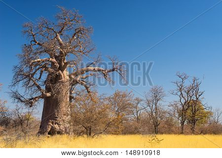 Huge Baobab plant in the african savannah with clear blue sky. Botswana one of the most attractive travel destionation in Africa.