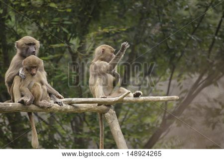 a baboon waving while sitting on a limb with two other baboons