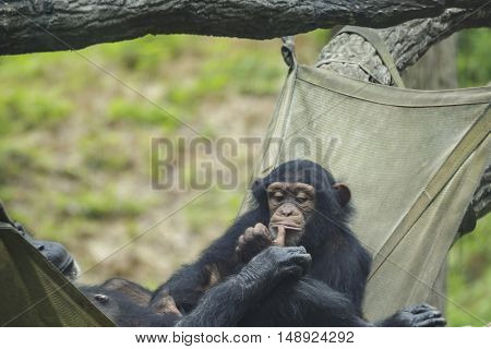 chimps lazily sitting in a hammock together