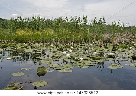 Small shallow pond with water lillys Serbia