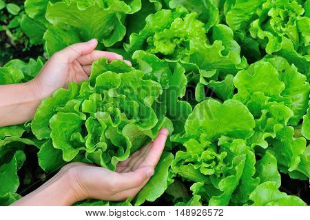 woman hands picking green lettuce in vegetable garden