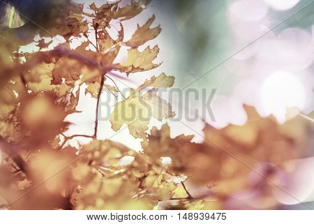 Colorful yellow leaves in Autumn season. Close-up shot. Suitable for background image.