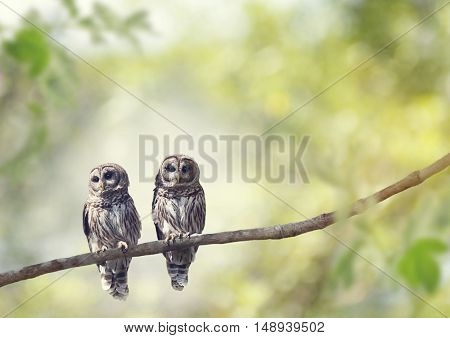 Two Young Barred Owls perch on a tree