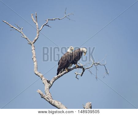 Two American Bald Eagles Perching on a tree