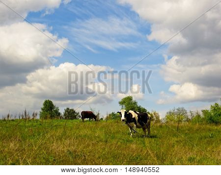 Cow on a green meadow under blue sky