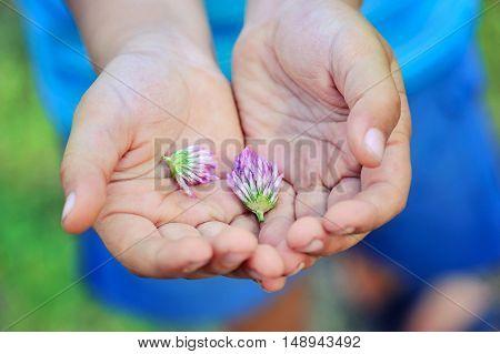 The flowers of clover in children's hands