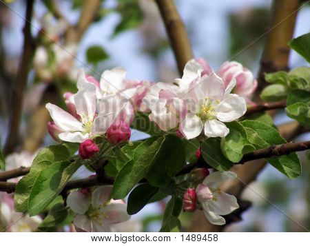 Apple-Tree In Color