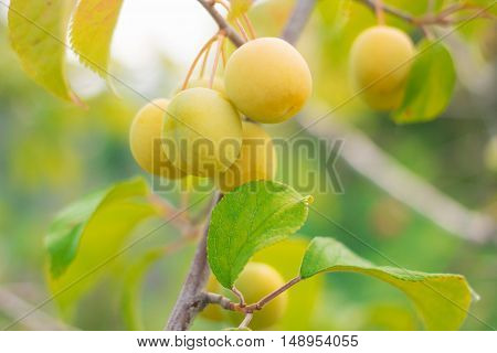 Unrape Spanish grapefruit on a tree. Plump growing on the tree