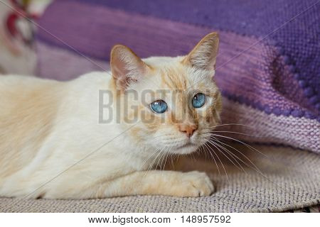 Cute light ginger cat with blue eyes lying on the sofa