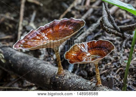 The Beautiful brown mushroom in the forest.