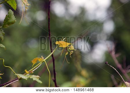 Small yellow leaves on a green stem.