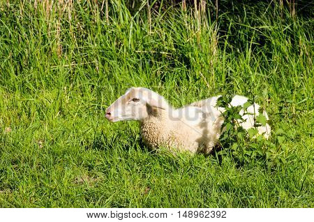 One young ruminating sheep lies in the fresh green enjoying the spring sunshine.