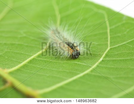 Fluffy Caterpillar Crawling On Leaf
