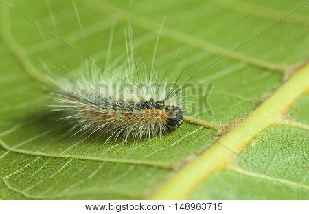 Fluffy Vermin Caterpillar