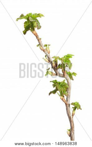Close-up of first leaves on blackcurrant (Ribes nigrum) brunch isolated on white