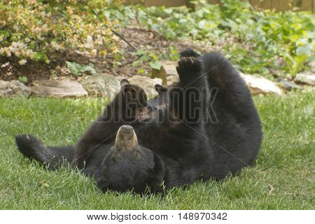 A mama black bear rolls on her back on a neighborhood lawn to allow her three small cubs to nurse on a sunny spring day