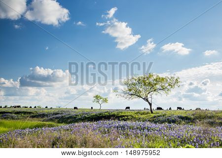 Texas Bluebonnet filed and farmland in sunny day