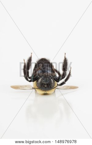 Close up of dead carpenter bee on reflective white surface with copy space.