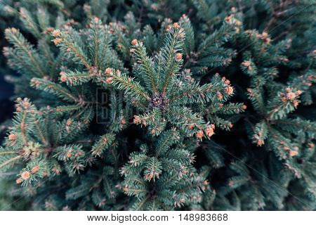 Branch Of Coniferous Tree, Detailed The Conifer Branch.