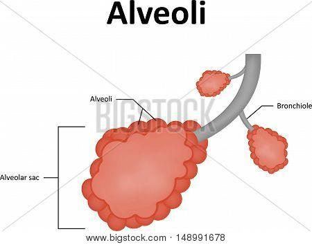 Alveoli Alveolar Sac of the Lung Respiratory System