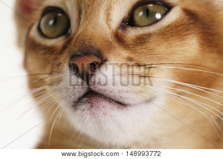 closeup abyssinian kitten face, focus on nose