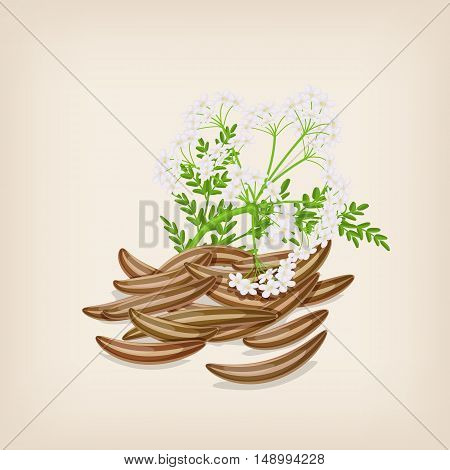 Cumin seed with flowers and leaves. Vector illustration.