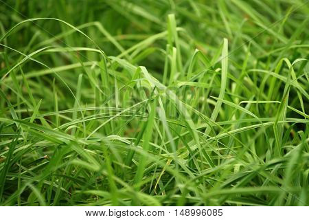 green tall grass closeup photo, natural background