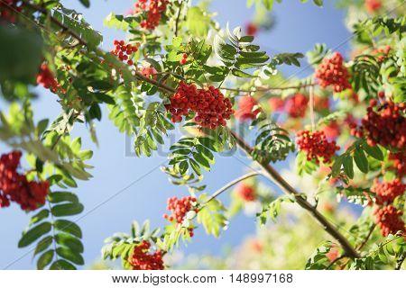 ashberry on rowan tree in a sunny autumn day, shallow focus
