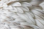White fluffy feather closeup - Selective focus on some feathers poster